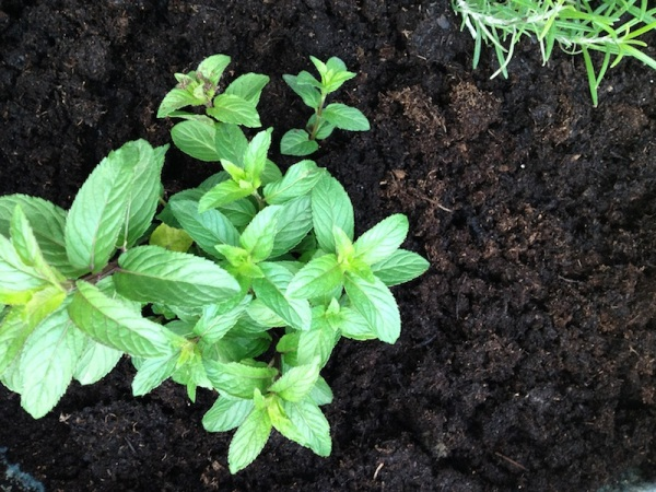 Chocolate Mint Plant | redleafstyle.com