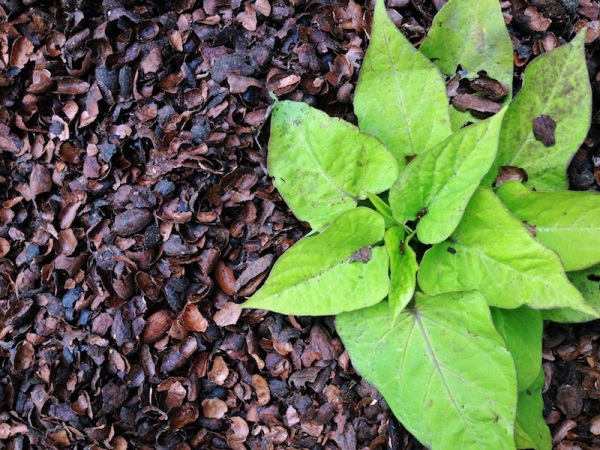 Cocoa Shell Mulch | redleafstyle.com